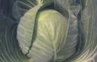 Сорт капусты белокочанной: Кастелло f1