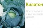 Сорт капусты белокочанной: Килатон f1