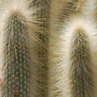 Клейстокактус ююенсис