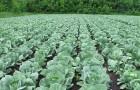 Сорт капусты белокочанной: Княгиня f1