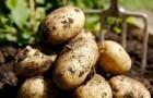 Сорт картофеля: Королле