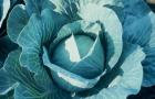 Сорт капусты белокочанной: Коронет f1