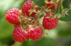 Сорт малины: Красный дождь