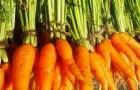 Сорт моркови: Крестьянка