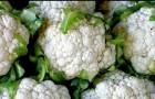 Сорт капусты цветной: Кристалин f1