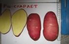 Сорт картофеля: Кузнечанка