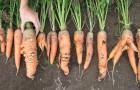 Сорт моркови: Леандр