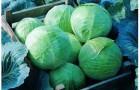 Сорт капусты белокочанной: Леннокс f1