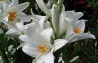 Лилии, ЛА гибриды, восточные