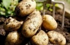 Сорт картофеля: Ломоносовский