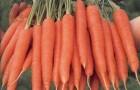 Сорт моркови: Магно f1