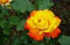 Махровые и немахровые розы в саду