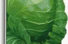 Сорт капусты белокочанной: Малахит f1