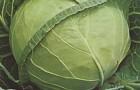 Сорт капусты белокочанной: Машенька f1