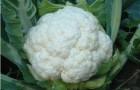 Сорт капусты цветной: Майорка f1