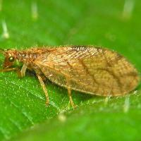 Micromus paganus