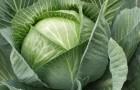 Сорт капусты белокочанной: Монарх f1