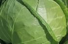Сорт капусты белокочанной: Московская поздняя 15