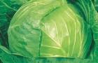 Сорт капусты белокочанной: Находка