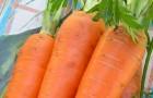 Сорт моркови: Нерак f1