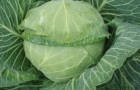 Сорт капусты белокочанной: Невестка f1