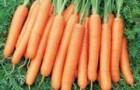 Сорт моркови: Нирим f1