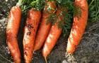 Сорт моркови: Номинатор f1