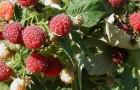 Сорт малины: Новость кузьмина
