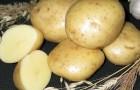 Сорт картофеля: Ньютон