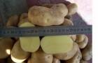 Сорт картофеля: Олева