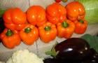 Сорт перца сладкого: Оранж глори f1