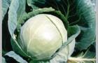 Сорт капусты белокочанной: Орион f1