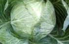 Сорт капусты белокочанной: Орловская f1