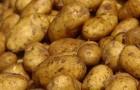 Сорт картофеля: Пантер