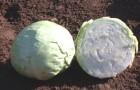 Сорт капусты белокочанной: Парус