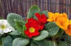 Первые цветы в саду: примулы