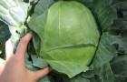 Сорт капусты белокочанной: Подарок