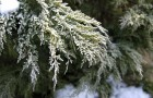 Подготовка хвойных растений к зиме 2/2