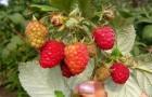 Сорт малины: Ранний сюрприз