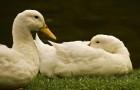 Разведение уток и гусей