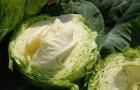 Сорт капусты белокочанной: Реактор f1