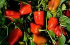 Сорт перца сладкого: Ред барон f1