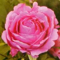 Роза китайская