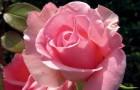 Роза королева сада