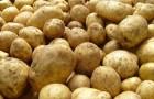Сорт картофеля: Ручеек