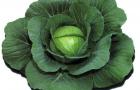 Сорт капусты белокочанной: Шармант f1