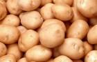 Сорт картофеля: Шелфорд
