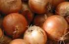 Сорт лука репчатого: Сафран f1
