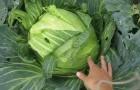 Сорт капусты белокочанной: Сахарная голова