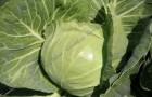 Сорт капусты белокочанной: Сахарный хруст